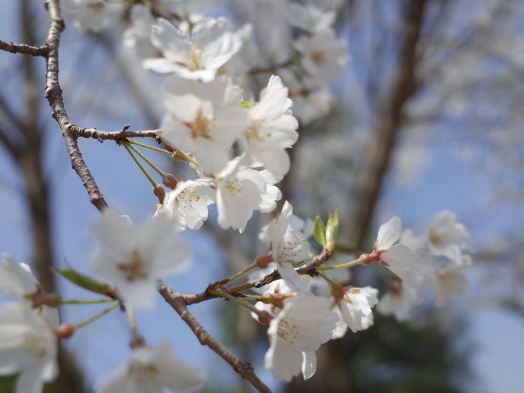 縮景園 桜